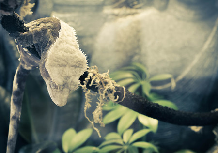 crested gecko: Pet crested gecko rests on a branch in terrarium after a climb