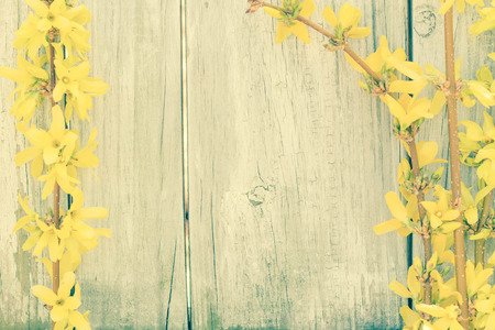 distressed background: Young forsythia bushes in full bloom against an old fence
