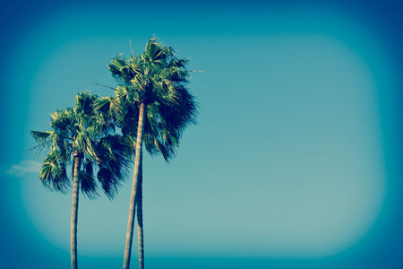 southern: Natural California palm trees on a bright sunny day