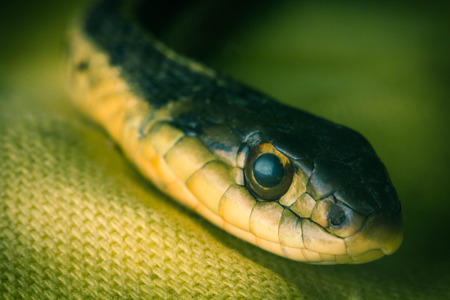 macro close up: Macro close up of eastern garter snake on yellow cloth Stock Photo