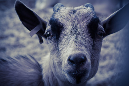 pygmy goat: Portrait close up farm brown goat looking at camera Stock Photo