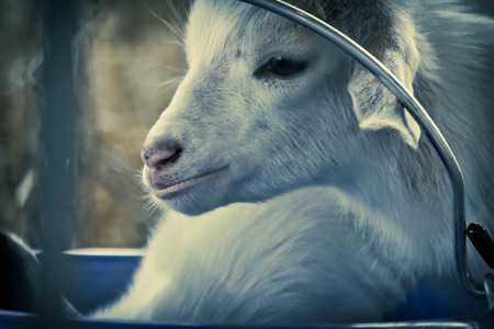 baby goat: Cute adorable baby goat kid by water bucket Stock Photo
