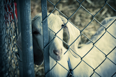pygmy goat: Cute young white goat in pen behind fence on farm