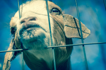 peers: Kinder Goat peers through the fence and puckers his lips for a kiss