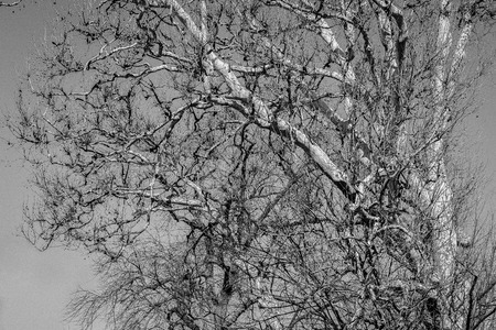 pealing: American sycamore branches against a sunny blue sky for this winter wildlife photo Stock Photo