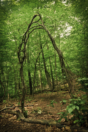 archway: Archway made from trees and vines creates doorway along woodland path Stock Photo
