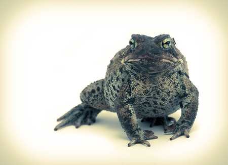 warts: A hideous ugly toad with warts isolated on white