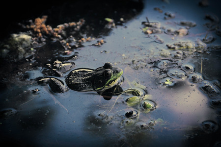 murky: A bull frog hiding in the murky lake water Stock Photo
