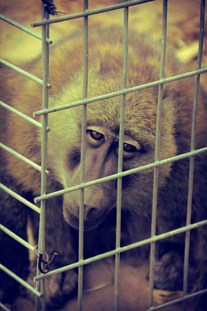 imprisonment: A sad baboon in a cage reminiscent of imprisonment Stock Photo