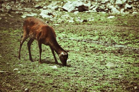 conservation grazing: A deer eats grass in the wild terrain