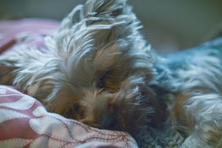 yorkie: Adorable Yorkie terrier sound asleep in bed