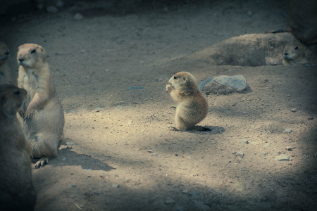 A prairie dog pup is safe to eat when with the group