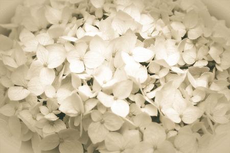 Closeup snowball flowers background