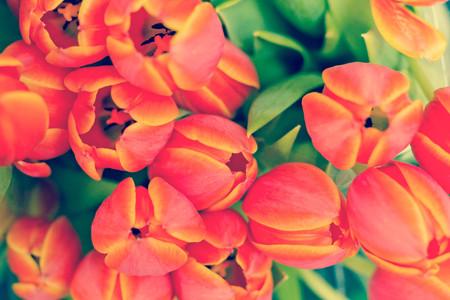 bunch up: Close up of bunch of orange tulipa praestans unicum tulips