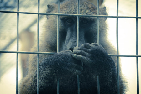 A sad baboon covering his mouth in a cage