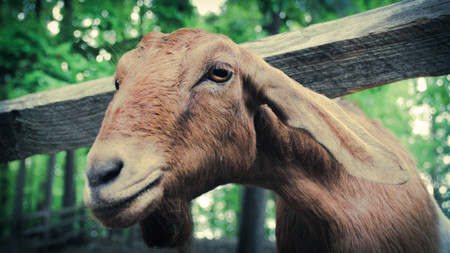 other side of: A curious goat learns about the other side of the fence