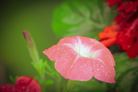 dewdrops: Pink Petunia blooming in garden with dewdrops Stock Photo