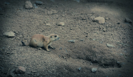 approaches: A prairie dog pup approaches his home Stock Photo