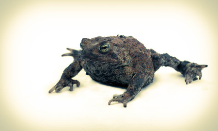 hideous: A hideous ugly toad isolated on white Stock Photo