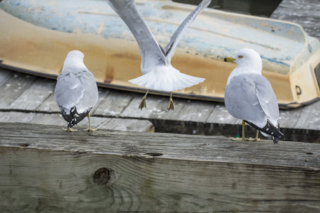 Three seagulls lined up on dock looking at small boat
