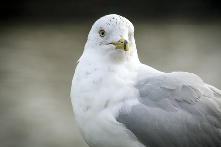 sea gull: Sea gull in close up portrait with selective focus