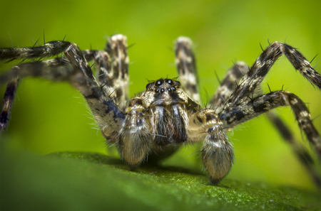 wolf spider: Extreme close up macro shot of a wolf spider on a green leaf