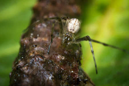 eight legged: Extreme close up macro long legged sac spider on green leaf