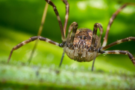 Daddy longleg or harvestman spider on green leaf background