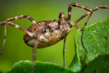 harvestman: Daddy longleg or harvestman spider on green leaf background