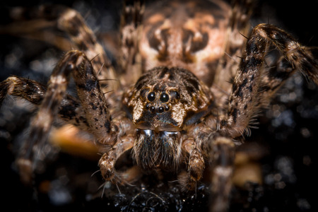 wolf spider: Extreme close up macro shot of a large wolf spider