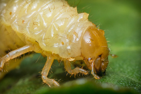 maggot: Ugly caterpillar maggot mealworm on green leaf in close up macro Stock Photo