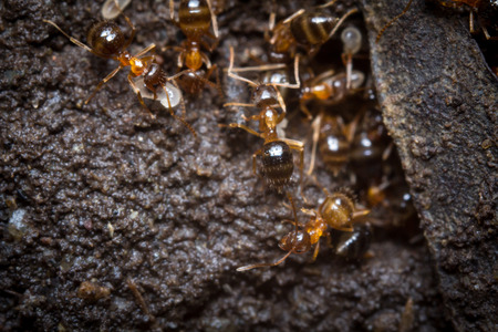 to tend: Red ants tend their eggs in macro close up