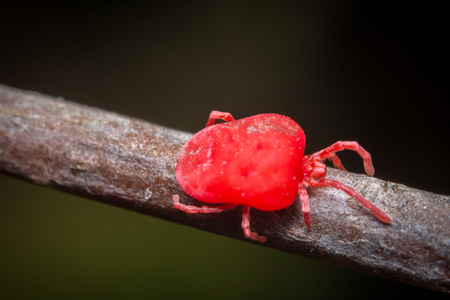 mite: Close up macro Red velvet mite or Trombidiidae in natural environment Stock Photo