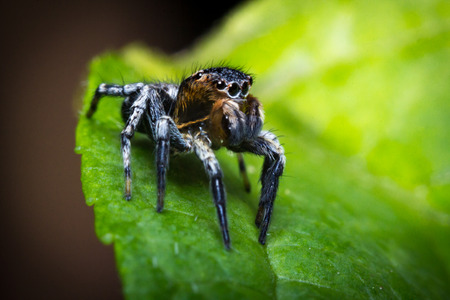 salticidae: Super macro close up jumping spider on green leaf Stock Photo