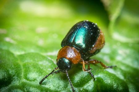 Close up macro shiny green and orange leaf beetle Reklamní fotografie