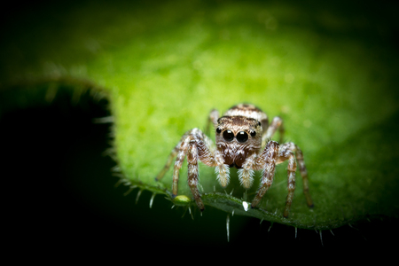 jumping spider: Super macro close up jumping spider on green leaf Stock Photo