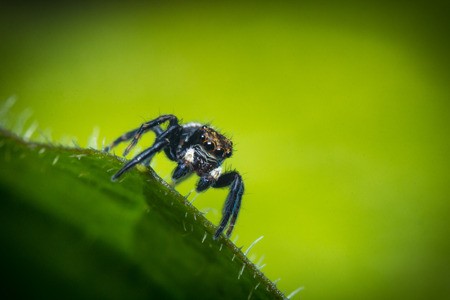 macro close up: Super macro close up jumping spider on green leaf Stock Photo