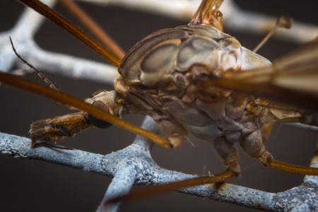 tipulidae: Close up macro of large crane fly or mosquito lookalike Stock Photo