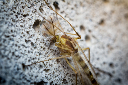 gnat: Close up macro of small sand fly gnat on cement wall