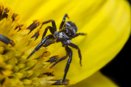 jumping spider: Super macro close up jumping spider on yellow flower
