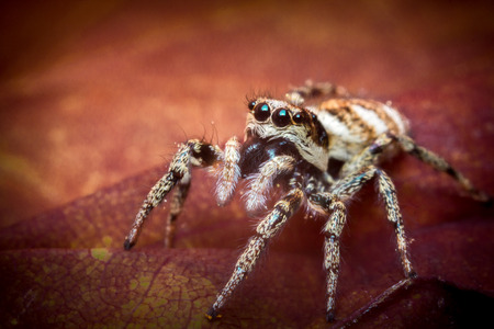 macro close up: Super macro close up jumping spider on red leaf Stock Photo