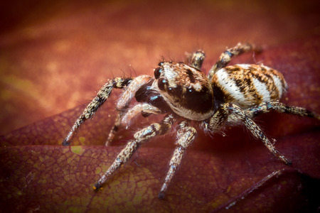 jumping spider: Super macro close up jumping spider on red leaf Stock Photo