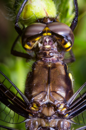 zygoptera: Extreme close up macro colorful dragonfly eyes springtime Stock Photo