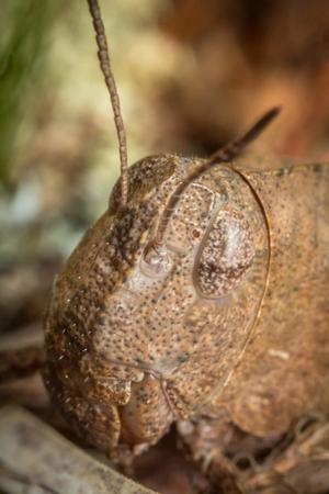 langosta: Extreme macro de cerca de langostas Carolina del retrato saltamontes insectos