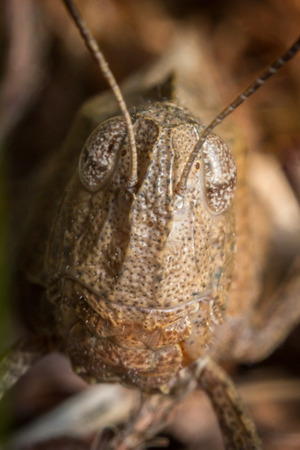 caelifera: Extreme closeup macro carolina locust grasshopper insect portrait