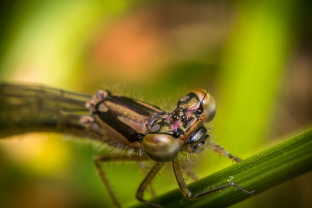 zygoptera: Extreme close up macro colorful damselfly eyes springtime