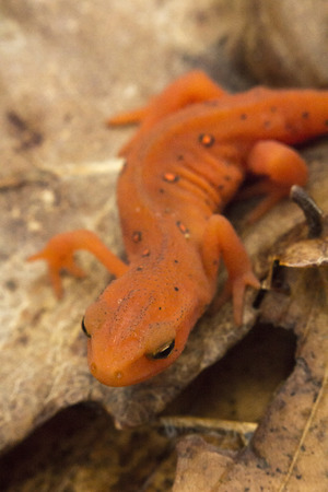 newt: Close up macro red spotted newt in its forest habitat Stock Photo