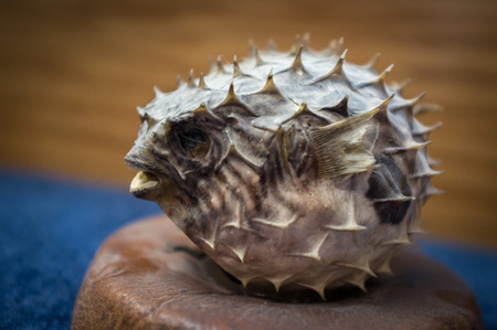 pez globo: decoraci�n de pez globo espinosa preservado secado sobre la superficie azul