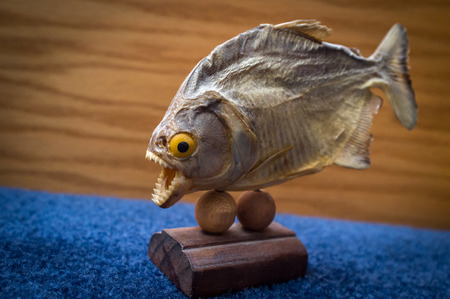 piranha: Dried preserved piranha fish trophy on blue surface Stock Photo