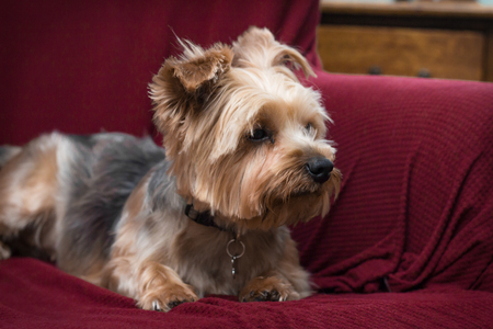 yorky: Portrait yorkshire terrier or yorkie relaxing on red couch
